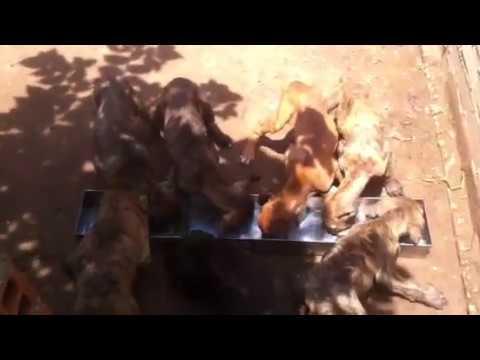 Phú Quốc dogs at Tiến Vinh petshop