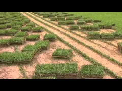 Os agricultores de Biguaçu em Santa Catarina vem se destacando pela produção de grama
