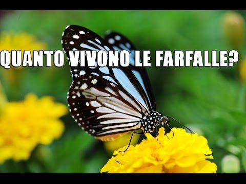 quanto vivono le farfalle?