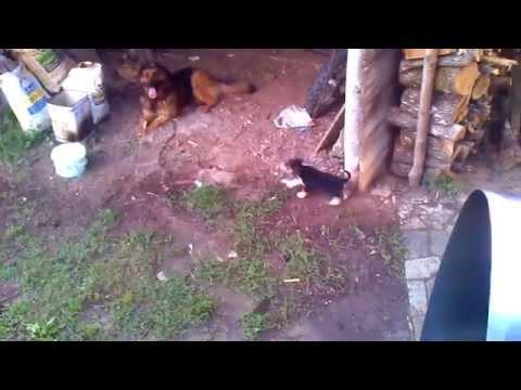 German Shepherd vs Cute Hound Dog Funny Video