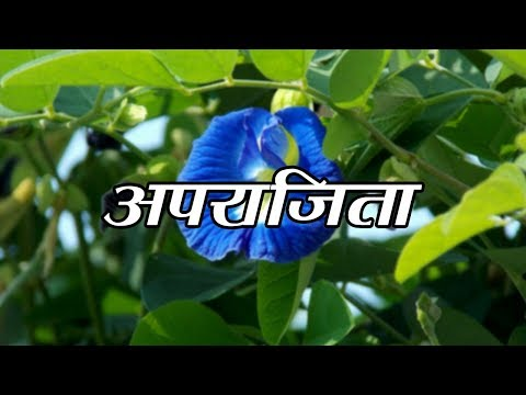 Health Benefits of Aparajita Plant