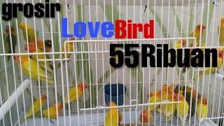 Video Grosir Lovebird Prospek 90rebuan Ter cihuy dan paling digemari gadis-gadis cantik dan manis. MP3, 3GP, MP4, WEBM, AVI, FLV Januari 2019