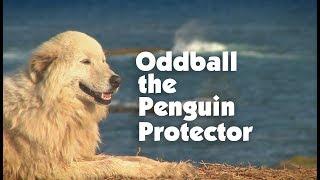 Nonton Meet The Penguin Protector  Oddball Film Subtitle Indonesia Streaming Movie Download