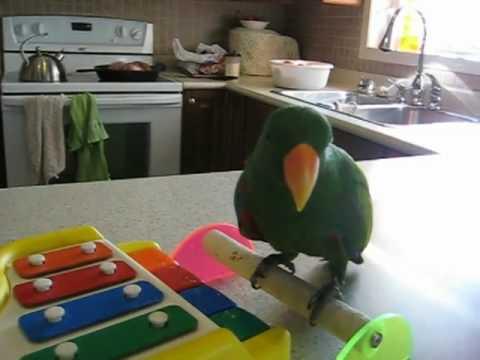 Eclectus Parrot Tricks Tricky Ekkie Toby