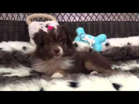 Precious, Toy Australian Shepherd puppy