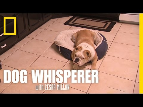dog whisperer - bulldog aggressivo