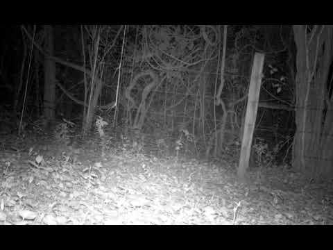 Nine-banded armadillo (Dasypus novemcinctus) and baby armadillos