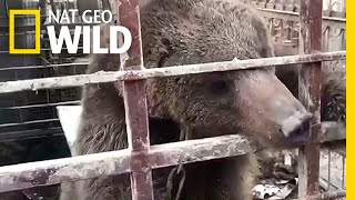 See a Bear Freed From a Cage to Begin a New Life | Nat Geo Wild by Nat Geo WILD
