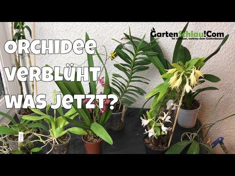Orchideen: Was machen mit verblühten Orchideen? Ein e ...