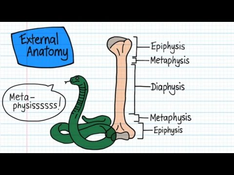 Long Bone Anatomy - Drawn & Defined
