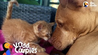 Dogs Who Love Other Animals | The Dodo Odd Couples by The Dodo