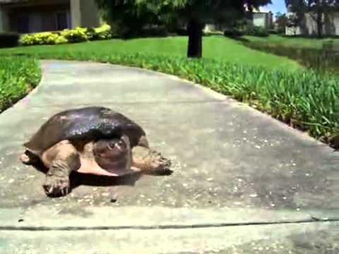 Zawsze byłam przekonana, że żółwie chodzą bardzo powoli! Widząc jak ten biegnie – zaniemówiłam!