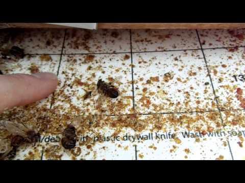 Urban Beekeeping: # 27 Varroa mite screened bottom board explanation, how to do quadrant counts