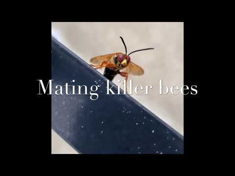 HUGE KILLER BEES MATING ! ONE DIES 💔 MUST WATCH! (4K)