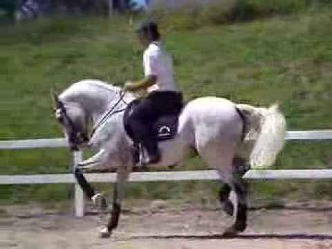 cavalos - Cavalo puro sangue lusitano, adestramento de alto nivel, piaffe, passagem e o melhor passo espanhol do brasil, rancho novo cavalos.