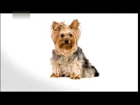 About Yorkshire Terriers 101 by Animal Planet (видео)