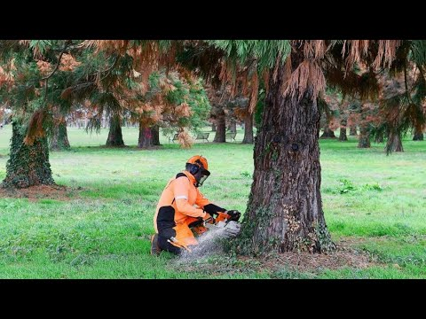 Mammutbäume verschwinden aus dem Freiburger Seepark