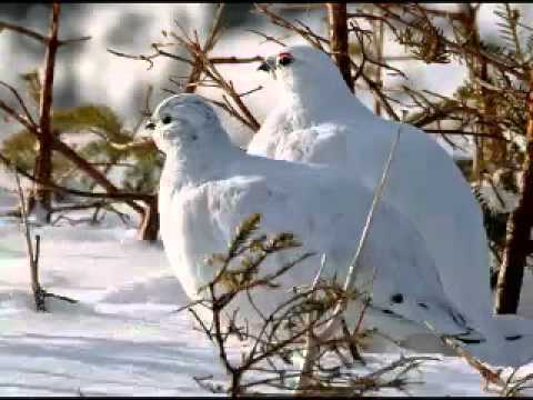 iki keklik bir kayada ötüyor