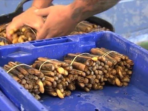 La Pesca del Longuerón en Isla Cristina