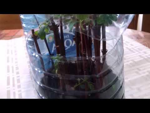 Как сделать черенки вишни