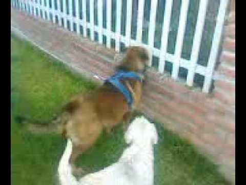 rottweiler vs boxer - Videos | Videos relacionados con rottweiler vs