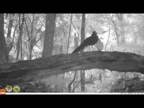 Tokhtor Sumatera di Taman Nasional Kerinci Seblat