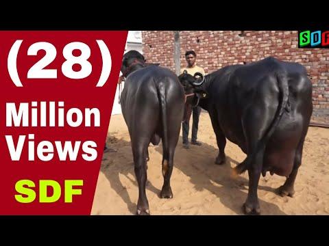 27 kg milk record murrah buffalo who