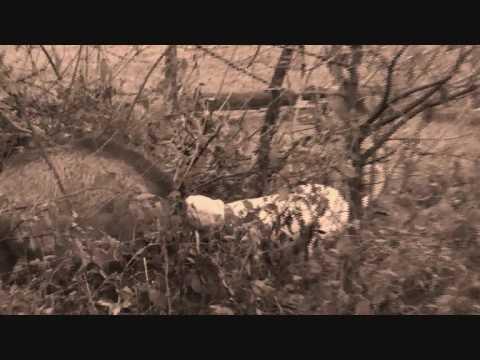 argentinian mastiff