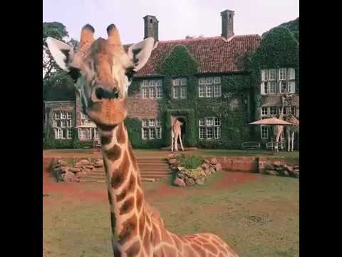 А вот и само видео с жирафиками)))