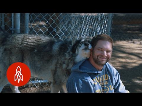 患有創傷後遺症的退伍軍人讓一隻狼靠近,下一秒的互動親眼看到都不敢相信!
