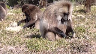 Ethiopia Simien Mountains Gelada Baboon (3 Of 4)