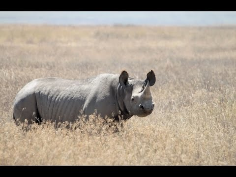Endangered Black Rhino Hunting Permit Auctioned For $350k