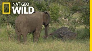 Do Elephants Grieve? New Video Suggests They Do | Nat Geo Wild by Nat Geo WILD