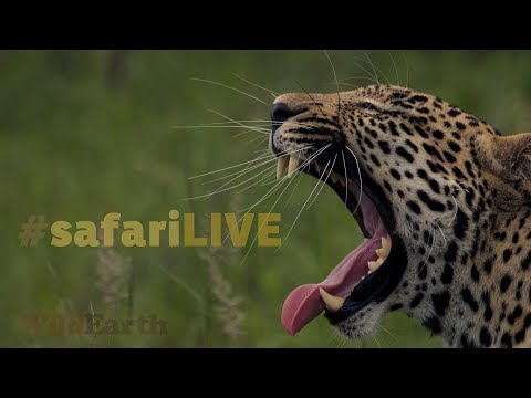 safariLIVE - Sunset Safari - Nov. 19, 2017 (видео)