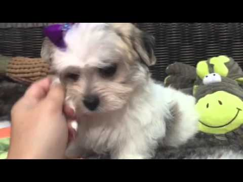 Beautiful, Party color Morkie puppy