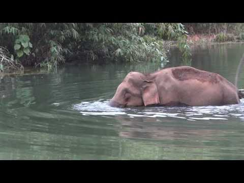 Gavi-wild Elephant  Crossing The River At Gavi Forest ,kerala