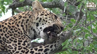 Boulders female leopard feeding on a duiker.This week's guest presenter is Quintus from Daddy Tube. Check out his channel here: https://www.youtube.com/channel/UCgmRKa9iElDmnvf0SR9DLzgFilmed at Idube Game Reserve in the Sabi Sand Wildtuin, Greater Kruger National Park, South Africa (http://www.idube.com/static)Filmed in 4K UHD resolution using the Sony AX100 video cameraSubscribe for more great wildlife clips: http://goo.gl/VdOHuSFollow #nowfilming on social networks for LIVE photo updatesROB THE RANGER WILDLIFE VIDEOS on Social Networks:TWITTER: http://goo.gl/U8IQGfBLOG: http://goo.gl/yJJ3pTFACEBOOK: http://goo.gl/M8pnJhGOOGLE+: http://gplus.to/robtherangerTUMBLR: http://goo.gl/qF6sNS#YouTubeZA#YouTubeSSA#SAYouTubers