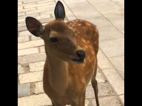 Screaming Deer