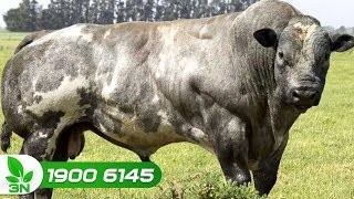 Chăn nuôi bò | Kỹ thuật nuôi bò 3B: Từ thức ăn, phòng bệnh đến chuồng trại