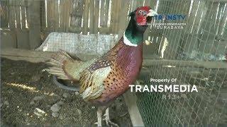 Video Uniknya Ayam Hias Tibet MP3, 3GP, MP4, WEBM, AVI, FLV Januari 2019