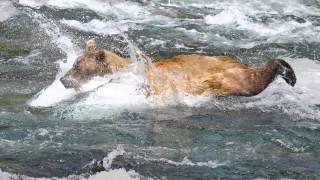 Video Bears at Brooks Falls by Sally Hinton MP3, 3GP, MP4, WEBM, AVI, FLV Oktober 2017