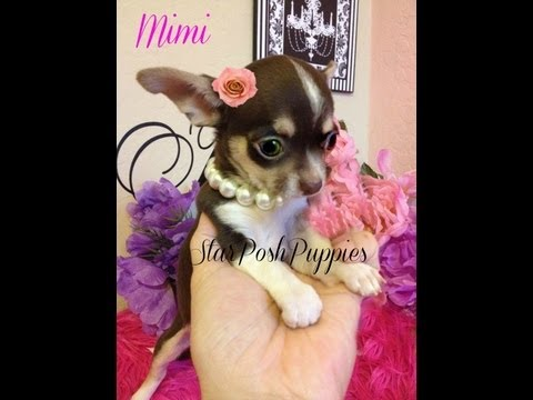"Tiny teacup chihuahua puppy for sale "" Mimi"""