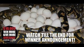 Video Giant Python Lays Massive Clutch of Huge Eggs for a Big Win MP3, 3GP, MP4, WEBM, AVI, FLV Agustus 2019