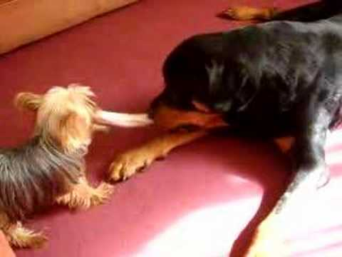 Rottweiler Vs Yorkshire Terrier. Tug Of War