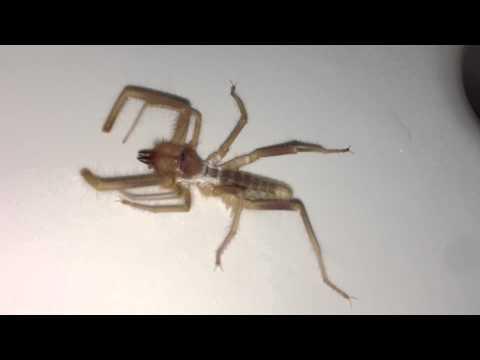 Camel Spider 2013