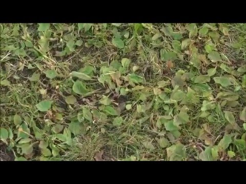 Unkraut Wildkraut aus dem Rasen entfernen mit dem Compo Unkrautvernichter
