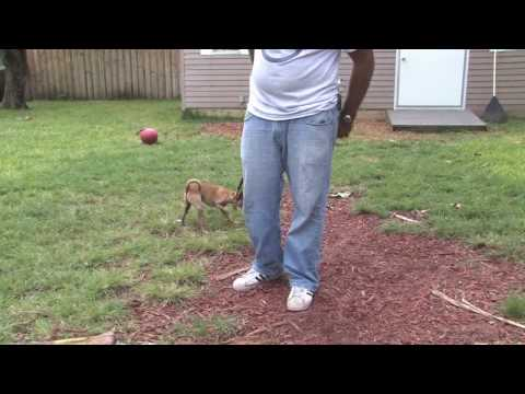 Dog Training & Care : When Does a Chihuahua Stop Growing?