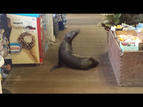 Curious Sea Lion Goes Shopping?