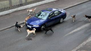 Dogs Attacking A Car
