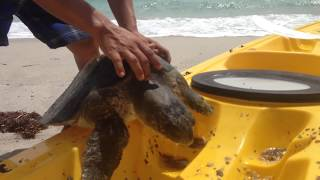 A poor sick barnacle encrusted sea turtle ( tortuga) is rescued by the staff of Las Animas Wilderness Lodge, a 1 hour boat ride...
